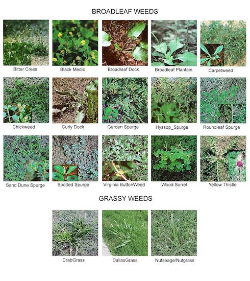 Weeds_identifiction_2